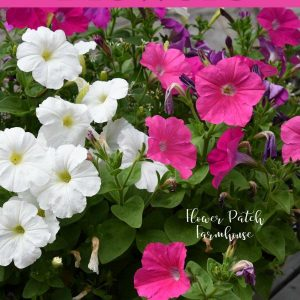 Petunia flowers with text overlay, easy flowers to grow in your garden, Flower Patch Farmhouse