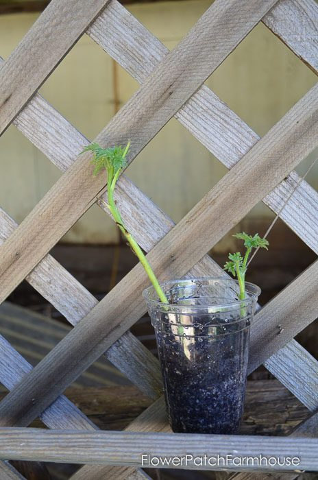 Delphinium cutting in plastic cut, how to take delphinium cuttings