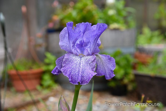 vintage Iris, Dutch Iris, Garden Journal May 17th and 24th