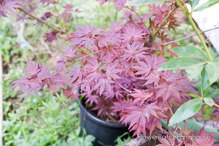 Japanese Maple, Acer, Garden Tour May 6 2018