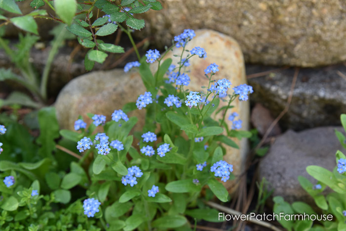 Forget me Nots,