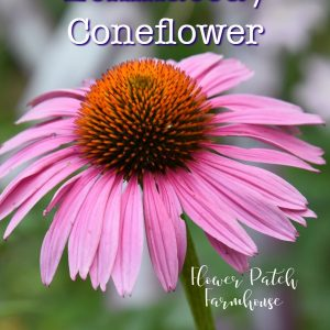 Purple coneflower echinacea with text overlay, How to grow Echinacea Purple coneflower, Flower Patch Farmhouse