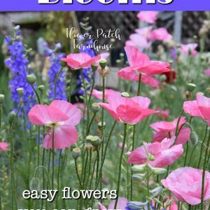 pink poppies and larkspur with text overlay, plant for continuous blooms, easy flowers you can grow, Flower Patch Farmhouse