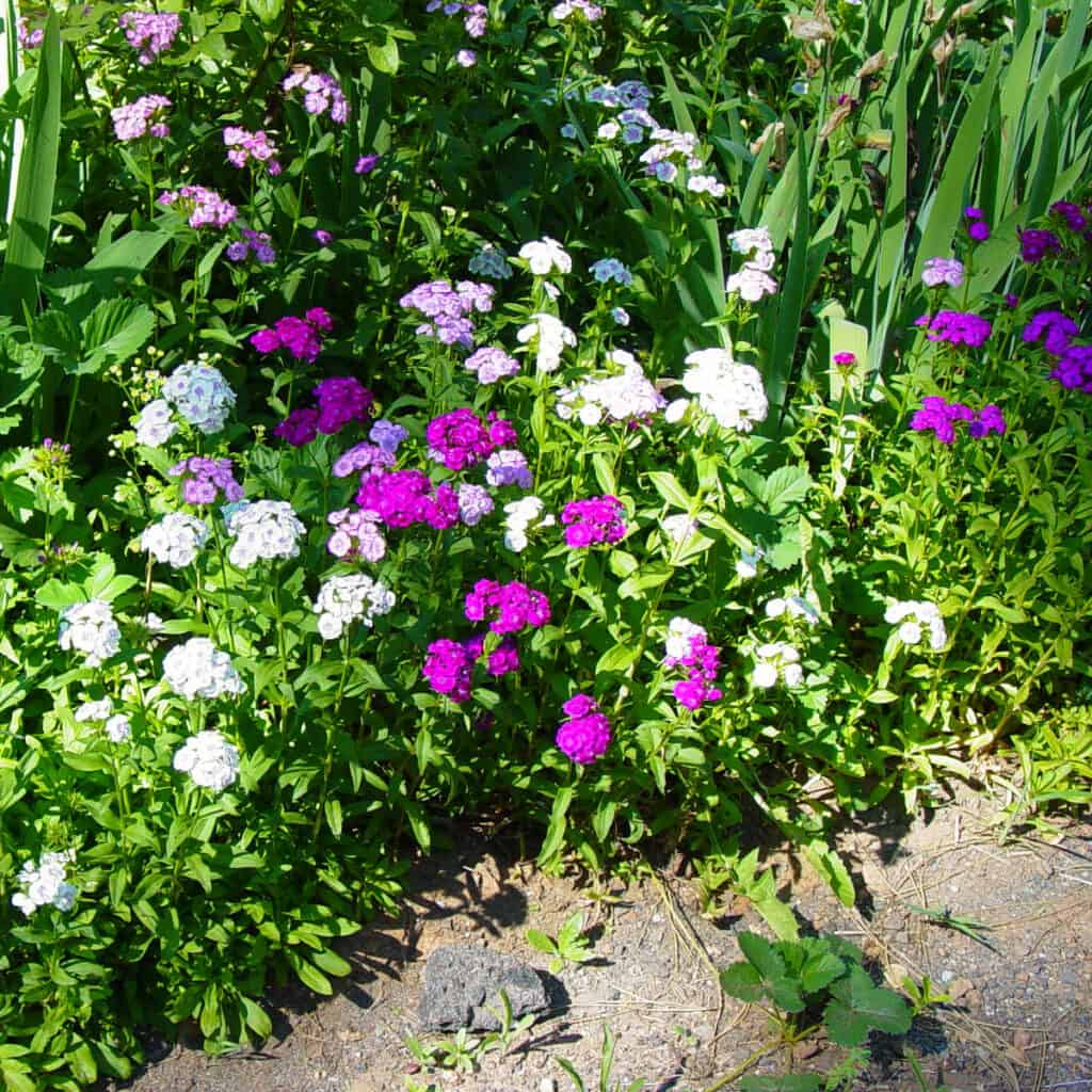 Sweet Willams in garden bed, pinks, white and magenta