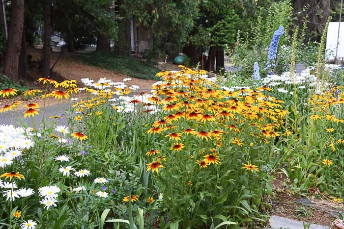 mass of rudbeckia aka black eyed susans in a flower bed