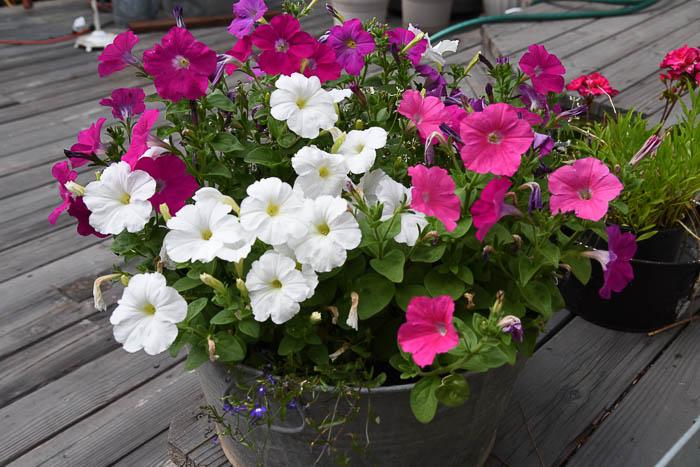 Petunias in Tub, Flowers that attract Hummingbirds