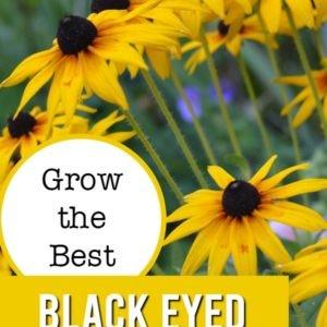 Rudbeckia, Black Eyed Susans with text overlay, grow the best black eyed susans, flower patch farmhouse