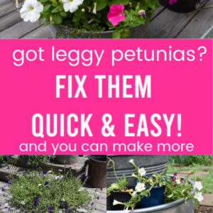 Leggy petunias getting pruned to revive them