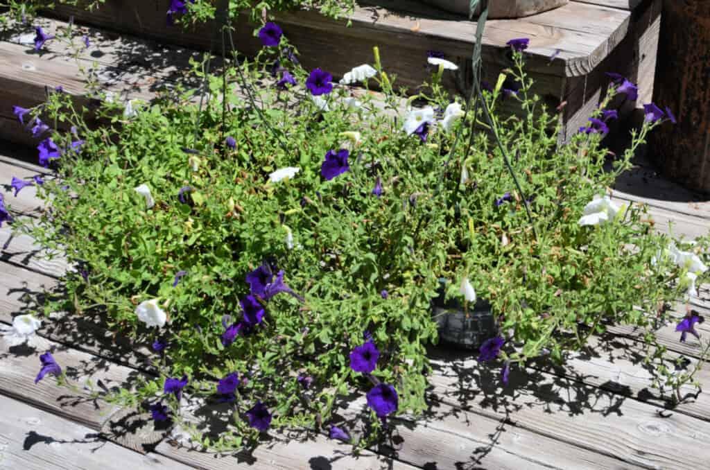 basket of leggy petunias that need reviving