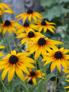 Black eyed susans growing at Flower Patch Farmhouse