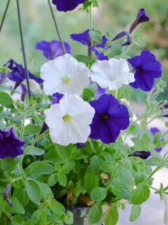 purple and white petunias in a hanging basket