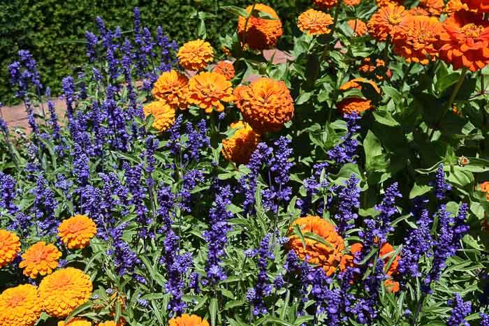 Orange Zinnias with Purple Salvia