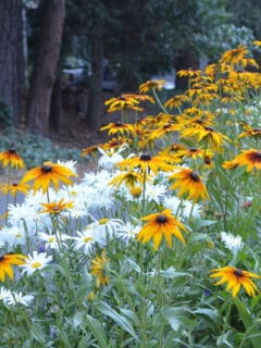 Daisies and black eyed susans in the garden, Flower Patch farmhouse