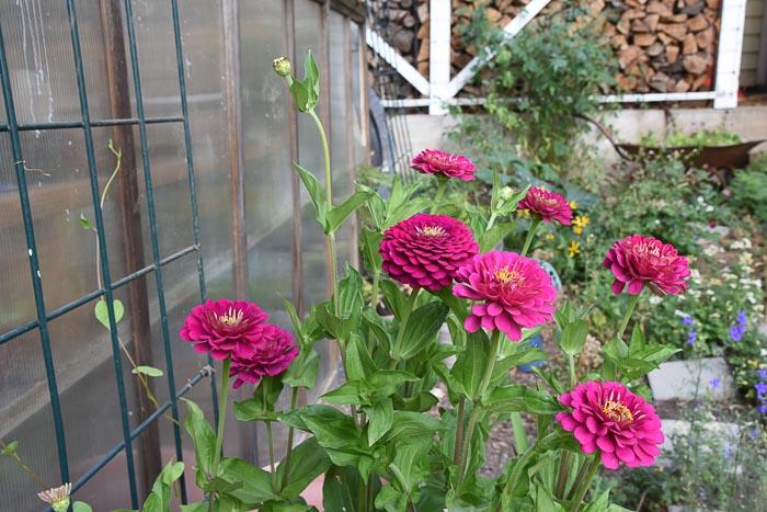 Benary Zinnia August Garden Journal