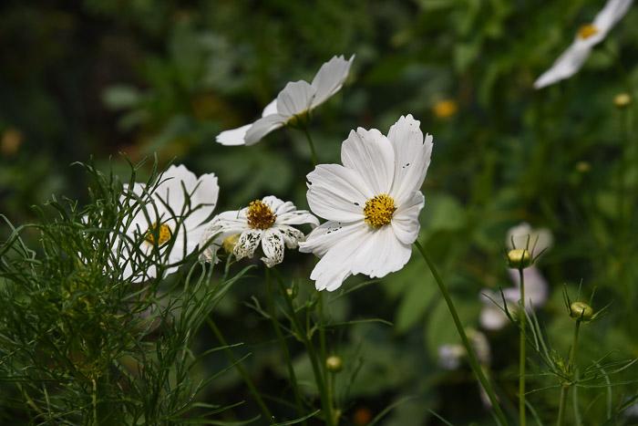 White cosmos, August Garden Journal