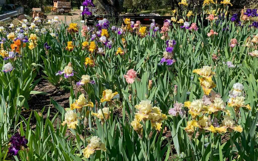 mass of Iris in the garden