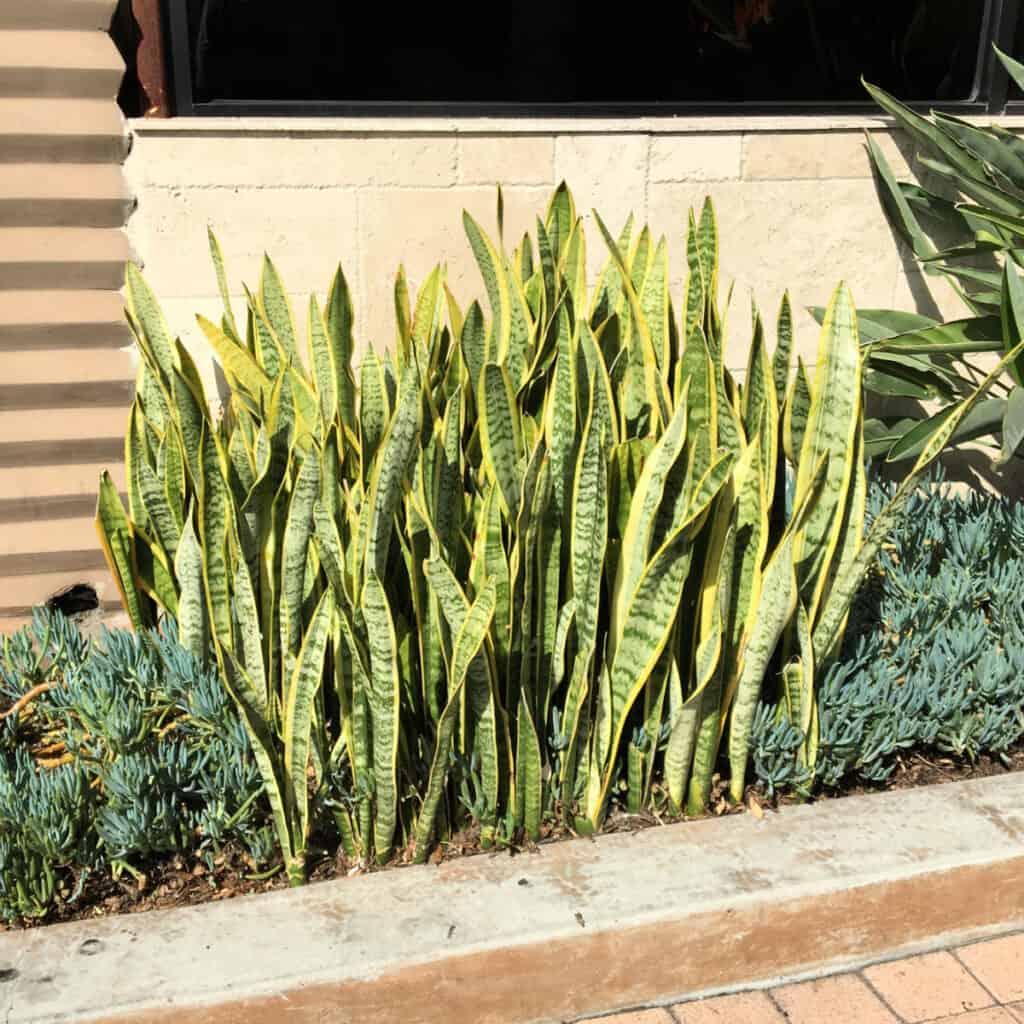 Divide Snake plant