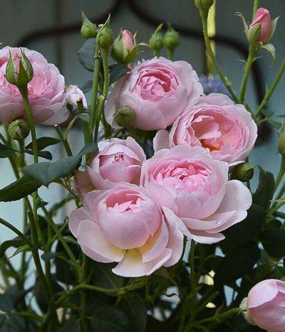 David Austin Sceptre de Isle rose, August Garden Journal