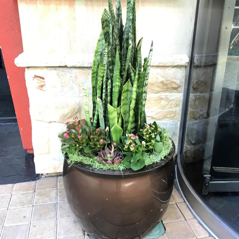 potted-sansevieria-trifisciata with other plants