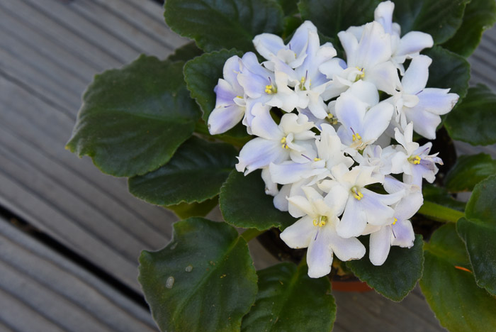 White with Lavender African Violet, easy Propagate African Violets