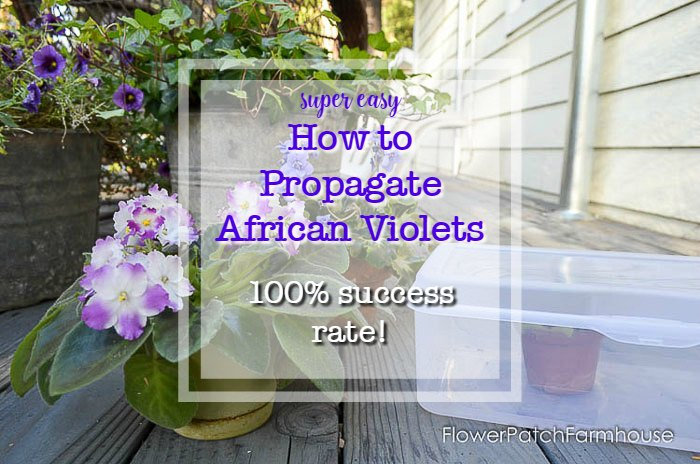 African Violets with Text, easy Propagate African Violets