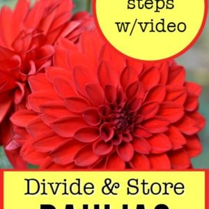 red dahlia with text overlay, Divide and Store Dahlias, easy step by step with free video