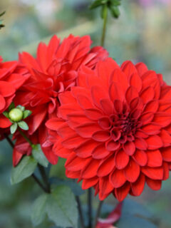 Red dahlia, November garden journal