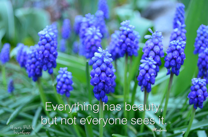Grape Hyacinths with text overlay, Everything has Beauty inspirational quote, FlowerPatchFarmhouse.com