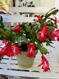 Exotic Dancer Thanksgiving Cactus in bloom