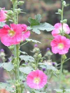 bright pink hollyhocks at Flower Patch Farmhouse
