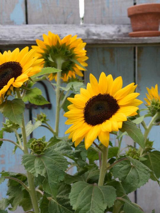 sunflowers, start an easy garden