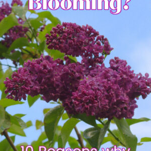 burgundy lilac bloom with text overlay, Lilacs not Blooming? 10 Reasons why and how to fix it!