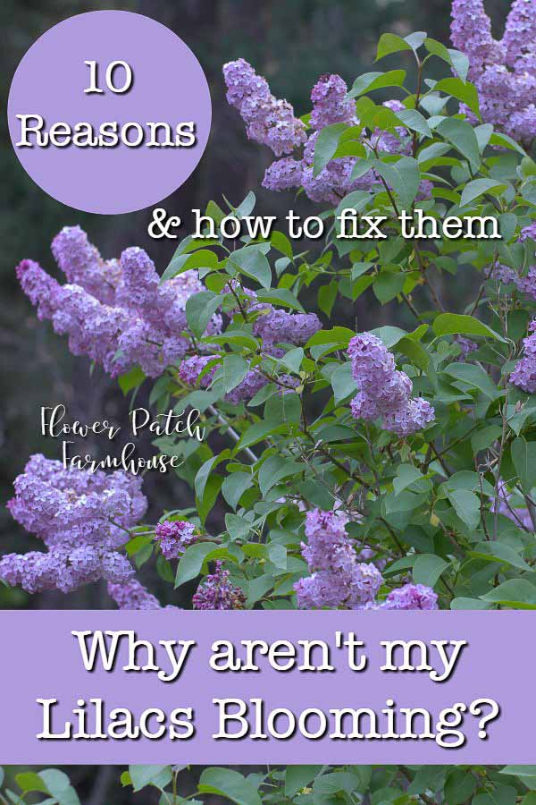 Lilac bush with text overlay Why aren't my Lilacs Blooming? 10 reasons and how to fix them, Flower Patch Farmhouse