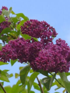 dark purple lilac bloom flower
