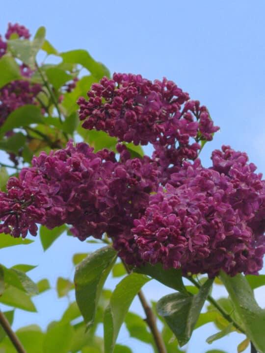 dark purple lilac bloom flower