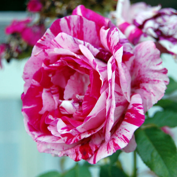 Scentimental Rose, how to root rose cuttings, Flower Patch Farmhouse