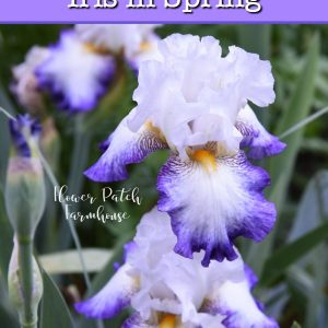 Iris with text overlay, how to divide Iris in Spring and still get blooms w/video, Flower Patch Farmhouse