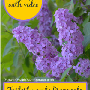 Lilacs with text overlay, Fastest way to propagate Lilacs