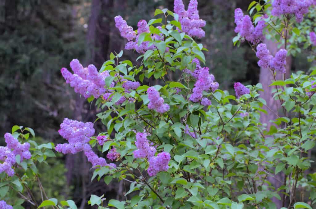 vintage lilac bush in white pines california