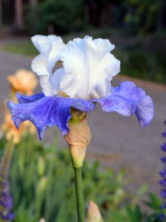 Elize bearded Iris, Flower Patch Farmhouse