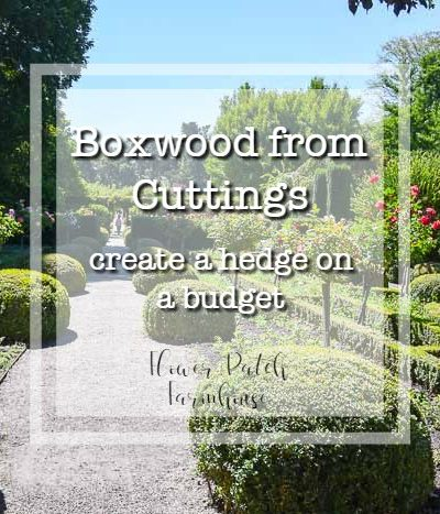 Beautiful boxwood hedge around rose garden at Filoli, text overlay How to Root boxwood cuttings, create a beautiful hedge on a budget, Flower Patch Farmhouse