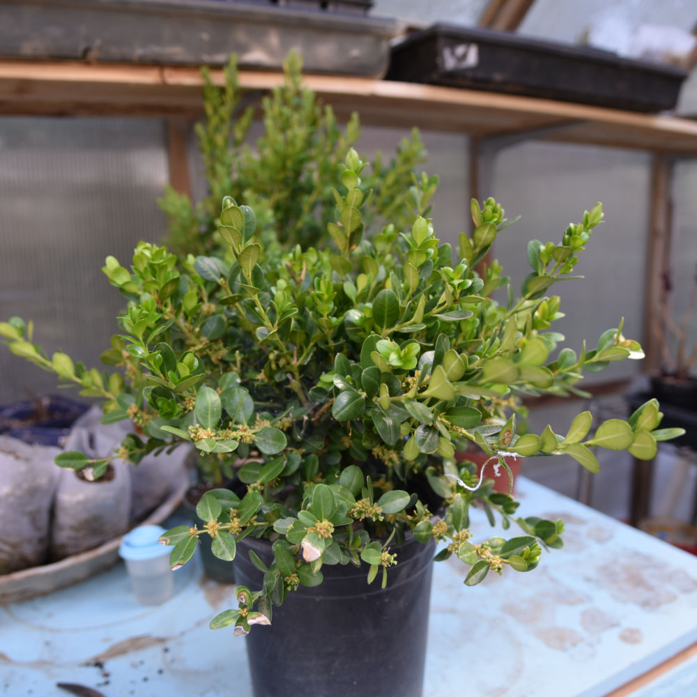 potted winter gem boxwood