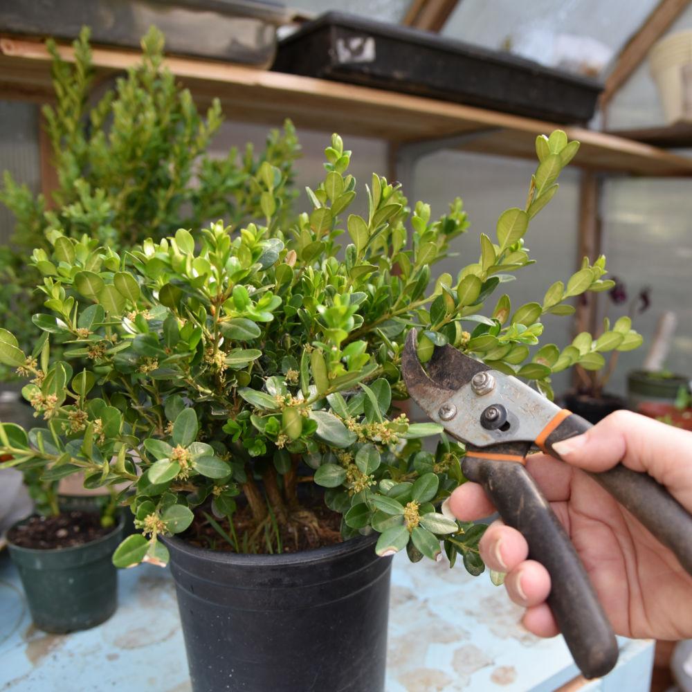 cutting a stem from a boxwood shrub