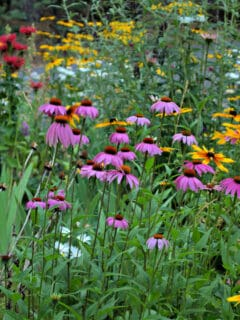 echinacea (purple coneflower) with blackeyed susies, and other flowers