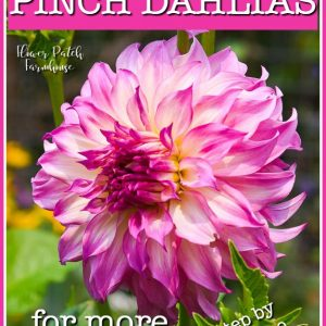 Pink dahlia with text overlay, How to Pinch Dahlias for more blooms, Flower Patch Farmhouse