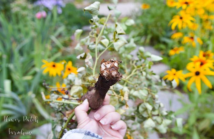 Olivia Rose Austin rose cane eaten to a nub, flowerpatchfarmhouse.com