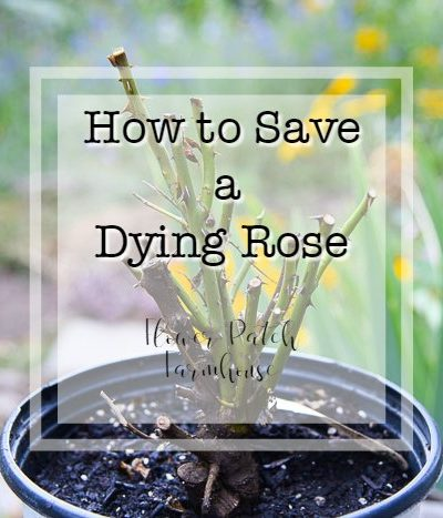 potted rose with text overlay, How to Save a Dying Rose, Flower Patch Farmhouse