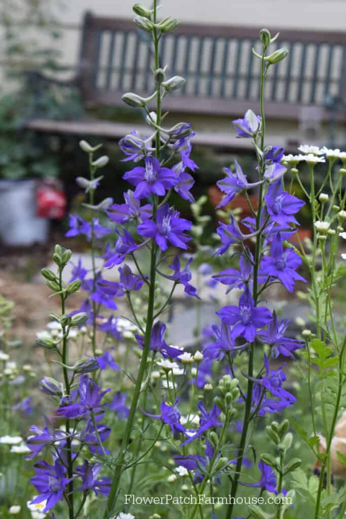 Larkspur in the garden, Sow your seeds in Fall