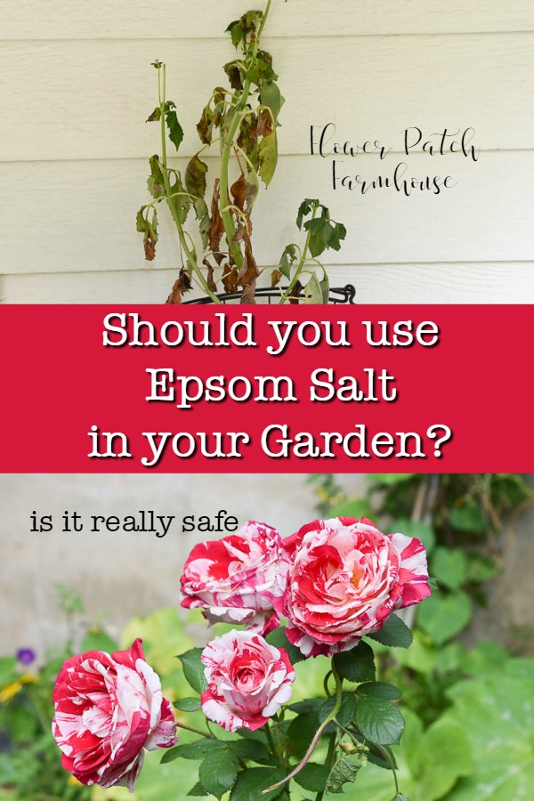 dying plant and Scentimental roses with text overlay. should you use epsom salt in your garden? is it really safe, flower patch farmhouse