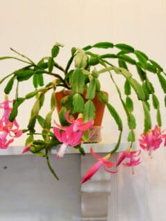 Christmas cactus in bloom on shelf